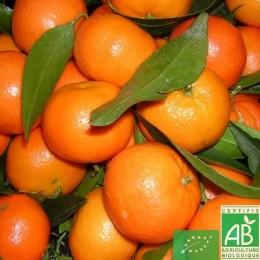 Clementine 500g Corse